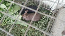 للبيع ارانب هولنديات ذكر وانث جاهزات للإنتاج صحتهن ممتازه