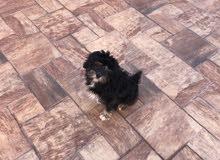 كلب صغير نوع تيرير