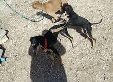كلب و كلبه و جرو