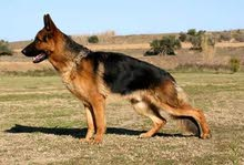 كلب برجي للبيع كلب حراس باوراق 2000