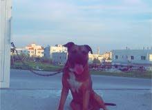 كلب بيتبول للحراسة
