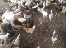 دجاج عماني للبيع الحبة 800بيسة.. 200 حبة 700 بيسة.. العمر شهرين واسبوع ... .....