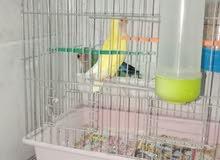 طيور روز الحبه 8