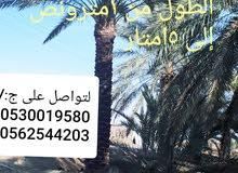 نخيل عربي للبيع من 1مترونص الى 5امتار لتواصل على ج:/ 0530019580 0562544203