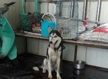 كلب هاسكي عمر 8 اشهر للمراوس وية كلب زينة وحلو