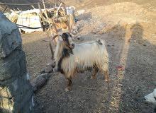 تيس عماني فحل