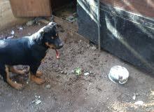كلب روت وايلير