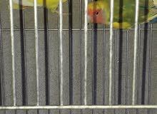عصافير براكاديلو 2