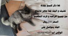 قط شيرازي فارسي