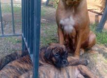 french mastiff for sale