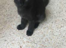 قطط شيرازية صغيره للبيع
