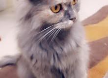 قطه تركيه مع اطفالها 3 عماني تركي