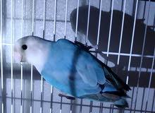ذكر لوڤبيرد اوپلاين معرف بتحليل lovebird opaline male by DNA