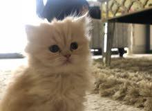 قطة لعوبة و نظيفة للبيع ( انثئ) ب صحة جيدة
