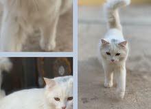 قطط شيرزايه اليفه