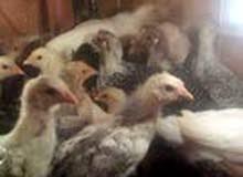 يوجد صيصان دجاج بلدي وفيومي الوان موميزه وصحه