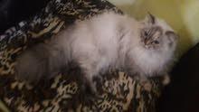 قطط نوعها هملاي شراز اصلي انثئ