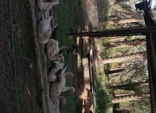 بستان للبيع 11 دونم في ابو الخصيب مهيجران قرب مخبز الاخوين