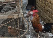 دجاج عرب للبيع