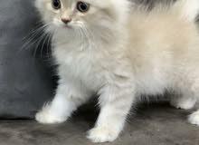 kitten for sale 45bd قطط للبيع