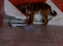 كلب مكس ( الاب جيرمن )