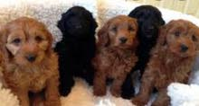 poodle puppy available