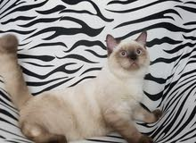 British short hair kitten with blue eyes