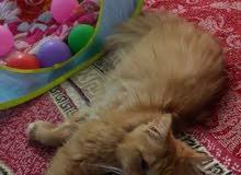 للبيع قط ذكروانثى شانتيلاملكي