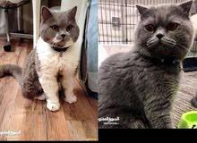 للتزاوج قطط ذكور بريتيش سكوتش و شيرازي