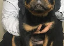 rottweiler female. puppy 45 days old
