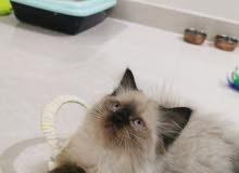 قط هملايا عمر شهرين