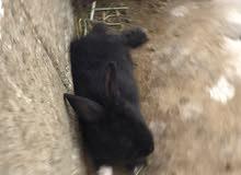 أرانب للبيع هولنديات