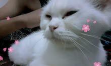 قطه شيرازي انثا