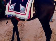 حصان انجليزى