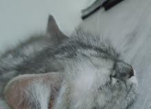 قط شيرازي للبيع الصحة ممتازة متعلمة على اليتر بوكس