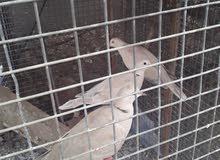 طيور عفدان للبيع