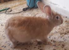 ارنب رءس الاسد