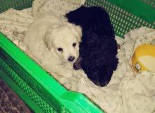 باقي كلبين شواوا حجم صغير العمر ثلاث اسبيع  الثنين 350