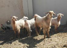 مجموعة أغنام للبيع من حلال الجواميد