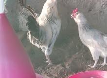 بيض فرنسي مخصب للبيع