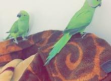 درة افريقي للبيع - African ring neck parrot