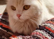 قطة شيرازي للبيع الدمام