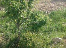 تقنيب وتركيب جميع انواع الاشجار مثل لوز و زيتون و اشجار اخره