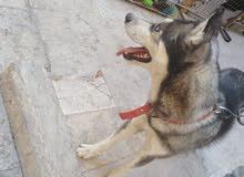 كلب هاسكي بيور