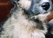 كلب للبيع النوع بندووق قوقازي بسعر50دينارالجنس انثا