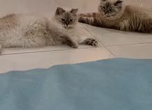 قط وقطه همالايا لينكس ذكر وانثى