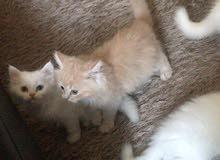 قطط شيرازية بيور