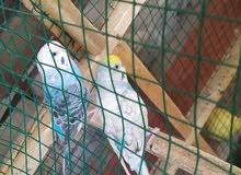 زوج طيور حب تركيبات مزاويج