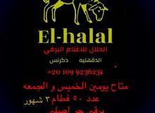 غنم برقي حر 01027881980