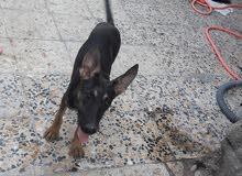 كلب جيرمن ولف دوم العمر شهرين نثيه شراسه فول ابوها ومها من نفس الفصيله